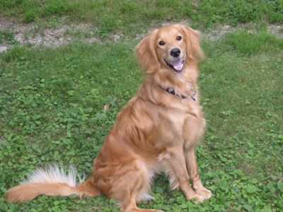 Hucksley is a golden retriever-poodle mix. He really does smile!